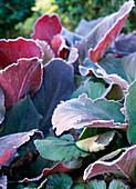 Hoarfrost on Bergenia cordifolia 'Abendglut' (Bergenie)