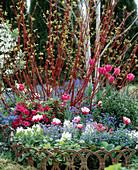 Flowerbed with Myosotis, Hyacinthus, Tulipa, Azalea hybrids, box