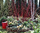 Cornus alba 'sibirica', Helleborus orientalis, Linden rose