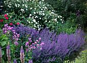 Rosa alba 'Semiplena', Nepeta fassenii 'Walker's Low'