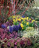 Hyacinthus 'Defts Blue'
