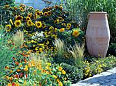 Helianthus annuus 'Teddy Bear' (blooming), 'Orange Mahagony'