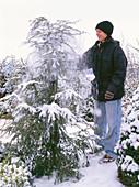 Young woman shaking snow from Tsuga canadensis