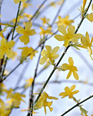 Jasminum nudiflorum (Real winter jasmine