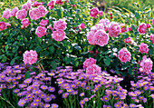 Rose 'Mary Rose' (English perfume rose), Erigeron 'Beautiful Blue'