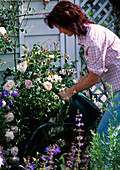Young woman watering pink 'New Dawn' (rose) and campanula