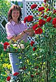 Young woman cutting roses, Rosa 'Santana' (climbing rose)