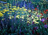 Achillea / Schafgarbe, Centaurea / Flockenblume, Salvia / Ziersalbei