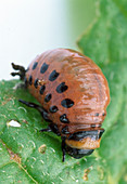 Leptinotarsa decemliniata (Colorado beetle) larvae