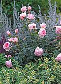 Rosa 'Scepter D'Isle' (English perfume, Mentha suaveolens)