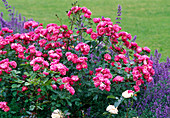 Rosa 'Angela' / Strauchrose, öfterblühend