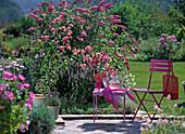 Buddleja 'Pink Delight' (butterfly lilac)