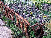 Salvia officinalis 'Purpurascens' (red-leaved sage)