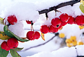 Malus 'Red Sentinel' (ornamental sprig branch) with snow