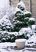 Picea glauca 'Conica', Buxus Ball Stem