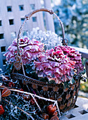 Brassica (ornamental cabbage) with hoarfrost in an iron basket, Physalis (lantern flower)
