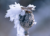 Papver (poppy) capsule with hoarfrost
