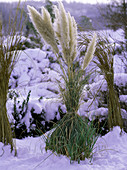 Tying Cortaderia (pampas grass) together in winter