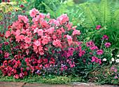 Rhododendron obtusum 'Blauws Pink' (Japanese Azalea)