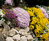 Rock garden with Aubrieta, Phlox, Alyssum