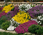 Alyssum, Iberis, Phlox, Aubrieta