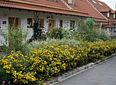 Front garden with Potentilla fruticosa 'Goldfinger'