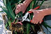 Cut back gladiolus (gladiolus) for wintering