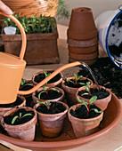 Piquing vegetable seedlings