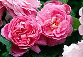 English Rose 'Mary Rose'