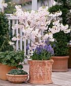 Prunus hybrid (ornamental cherry), Muscari armeniacum