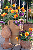 Tulips 'Heart's Delight', Daffodil