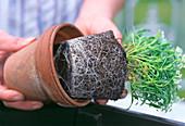 Repot seedlings before watering