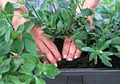 Press tight on plants