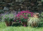 Lavandula Osteospermum