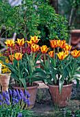 Tulipa greigii hybrid 'Cape Cod'