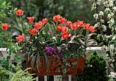 Tulipa greigii hybrid 'Oratorio', Carex conica