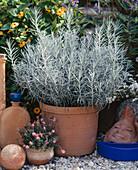 Curry herb (Helichrysum italicum)