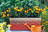 Yellow balcony tomato 'Balconi Yellow' from Quedlinburger Saatzucht