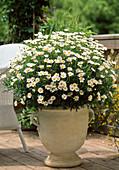 Argyranthemum frutescens (Chrysanthemum)