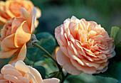 English rose 'Ellen' (apricot scent)