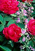 Pink damascena 'Rose De Resht'