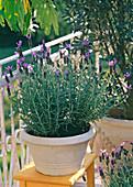 Provence Lavandula stoechas (Spanish lavender)