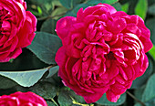 Rose de Resht ', Rosa damascena