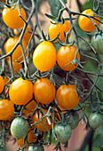 Tomato 'Mirabell' (yellow mirabelle) French tomato variety