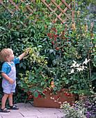 Child picks raspberries
