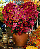 Dendranthema indicum, autumn chrysanthemum gown in heart shape