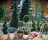Shaped trees, boxwood, taxus, lavender