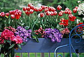 Tulip 'Merry Widow', Campanula (bellflower)