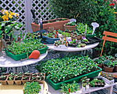 Seedlings and young plants (easy Plant Baldur)
