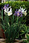 Iris hollandica (Holland iris)